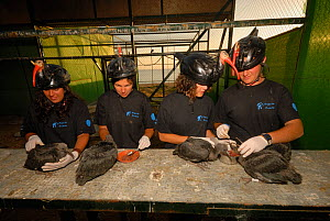 Breeding project of the Hermit / Northern bald ibis (Geroniticus eremita) at the Jerez de la Frontera Zoo, Cadiz, Spain. Keepers wear ibis helmets to limit human imprint and enable the birds to recogn... - Roland Seitre