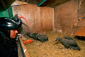 Breeding project of the Hermit / Northern bald ibis (Geroniticus eremita) at the Jerez de la Frontera Zoo, Cadiz, Spain. Keeper feeds one month chicks and wears an ibis helmet to limit human imprint a... - Roland Seitre