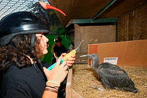 Breeding project of the Hermit / Northern bald ibis (Geroniticus eremita) at the Jerez de la Frontera Zoo, Cadiz, Spain. Keeper feeds one month chick and wears an ibis helmet to limit human imprint an...  -  Roland Seitre