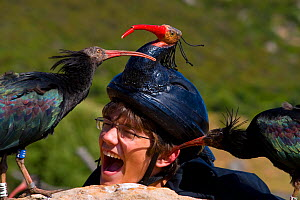Hermit / Northern bald ibis (Geroniticus eremita) breeding project of the Jerez de la Frontera Zoo, Cadiz, Spain. Keeper with two chicks pecking his face, keepers wear ibis helmets to limit human impr... - Roland Seitre