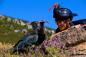 Hermit / Northern bald ibis (Geroniticus eremita) breeding project of the Jerez de la Frontera Zoo, Cadiz, Spain. Keeper with juvenile birds on open land, keepers wear ibis helmets to limit human impr... - Roland Seitre