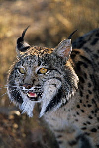 Spanish / Iberian Lynx (Lynx pardina) male growling, part of a breeding and reintroduction program. Captive: critically endangered. Andalusia, Spain, June 2006.  -  Roland Seitre