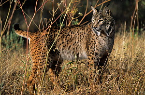 Spanish / Iberian Lynx (Lynx pardina) in profile, part of a breeding and reintroduction program. Captive: critically endangered. Andalusia, Spain, June 2006.  -  Roland Seitre