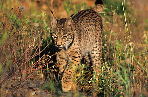 Spanish / Iberian Lynx (Lynx pardina), part of a breeding and reintroduction program. Captive: critically endangered. Andalusia, Spain, June 2006.  -  Roland Seitre