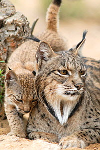 Spanish / Iberian Lynx (Lynx pardina) female with cub, part of a breeding and reintroduction program. Captive: critically endangered. Andalusia, Spain, June 2006.  -  Roland Seitre