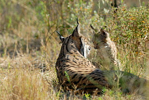 Spanish / Iberian Lynx (Lynx pardina) mother with cub, part of a breeding and reintroduction program. Captive: critically endangered. Andalusia, Spain, June 2006.  -  Roland Seitre