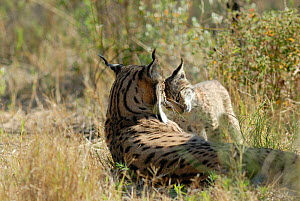 Spanish / Iberian Lynx (Lynx pardina) mother and cub, part of a breeding and reintroduction program. Captive: critically endangered. Andalusia, Spain, June 2006.  -  Roland Seitre