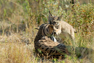 Spanish / Iberian Lynx (Lynx pardina) cub playing with mother; part of a breeding and reintroduction program. Captive: critically endangered. Andalusia, Spain, June 2006.  -  Roland Seitre