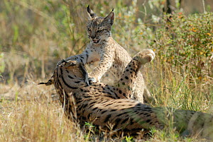 Spanish / Iberian Lynx (Lynx pardina) cub playing with its mother; part of a breeding and reintroduction program. Captive: critically endangered. Andalusia, Spain, June 2006.  -  Roland Seitre