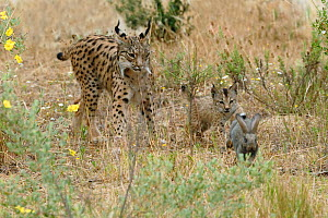 Spanish / Iberian Lynx (Lynx pardina) cub chasing a rabbit as its mother watches; part of a breeding and reintroduction program. Captive: critically endangered. Andalusia, Spain, June 2006.  -  Roland Seitre