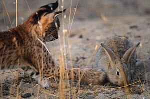 Spanish / Iberian Lynx (Lynx pardina) cub playing with a rabbit as it learns to recognise it as prey; part of a breeding and reintroduction program. Captive: critically endangered. Andalusia, Spain, J...  -  Roland Seitre