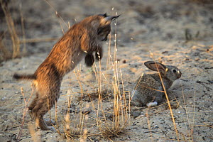 Spanish / Iberian Lynx (Lynx pardina) cub pouncing on a rabbit, as it learns to treat it as prey; part of a breeding and reintroduction program. Captive: critically endangered. Andalusia, Spain, June... - Roland Seitre