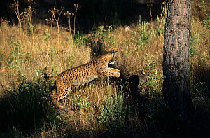Spanish / Iberian Lynx (Lynx pardina) pouncing on rabbit, as it learns to treat it as prey; part of a breeding and reintroduction program. Captive: critically endangered. Andalusia, Spain, June 2006. - Roland Seitre