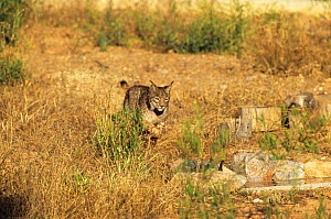 Spanish / Iberian Lynx (Lynx pardina) stalking towards a rabbit as it learns to treat it as prey; part of a breeding and reintroduction program. Captive: critically endangered. Andalusia, Spain, June... - Roland Seitre