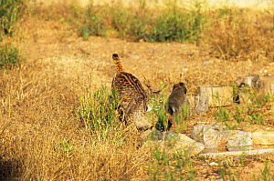 Spanish / Iberian Lynx (Lynx pardina) ambushing a rabbit which leaps away; the cat is learning to treat the rabbit as prey. Part of a breeding and reintroduction program. Captive: critically endangere... - Roland Seitre