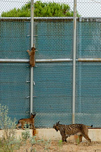 Mother Iberian / Spanish Lynx (Lynx pardina) with cubs climbing the fence of their enclosure. Donana breeding station, part of the lynx reintroduction project in Andalusia. Spain, June 2006.  -  Roland Seitre
