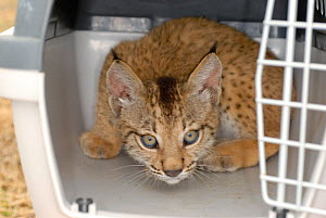 Iberian / Spanish Lynx (Lynx pardina) cub, 2-3 months, in transport box at the Donana breeding station. Lynx reintroduction program, Andalusia, Spain, June 2007. - Roland Seitre