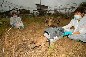 Program director Dr Astrid Vargas releasing young Iberian / Spanish Lynx (Lynx pardina) into rearing enclosure. Lynx reintroduction program, Andalusia, Spain, June 2007.  -  Roland Seitre