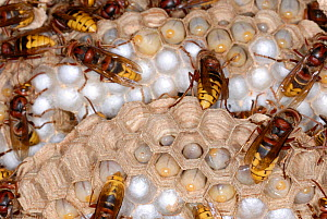 European Hornets (Vespa crabro) at nest, with cells at different levels of development. Tours, France, August.  -  Roland Seitre