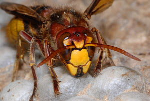 European Hornets (Vespa crabro) at nest, on sealed cells in which larvae pupate. Tours, France, August.  -  Roland Seitre
