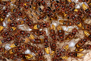 European Hornets (Vespa crabro) at nest on sealed cells in which larvae pupate. Tours, France, August.  -  Roland Seitre