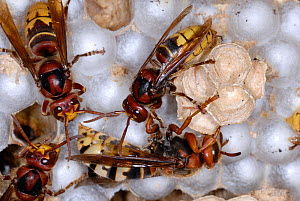 European Hornets (Vespa crabro) at nest on sealed cells, with the queen below (white abdoment). Tours, France, August.  -  Roland Seitre