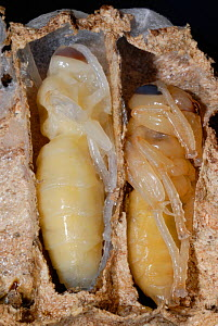 Cross-section of European Hornet (Vespa crabro) larvae in cells, showing different stages of development. Tours, France, August.  -  Roland Seitre