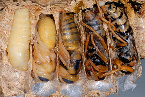 Cross-section of European Hornet (Vespa crabro) nests, showing cells with larvae at different stages of metamorphosis from pupa to adult. Tours, France, August.  -  Roland Seitre
