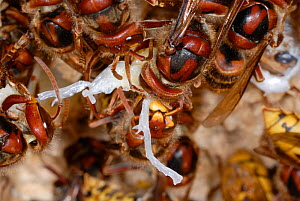 European Hornets (Vespa crabro) consuming a larvae. Workers can control sex-ratios and population structure through this behaviour. Tours, France, August.  -  Roland Seitre