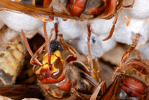 European Hornets (Vespa crabro) consuming insects at their nest. Tours, France, August.  -  Roland Seitre