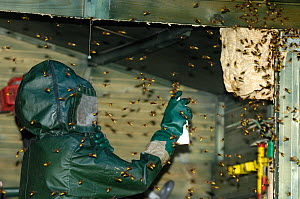 Man using insecticide on European Hornet (Vespa crabro) nest as the workers swarm around him. Tours, France, September 2007.  -  Roland Seitre