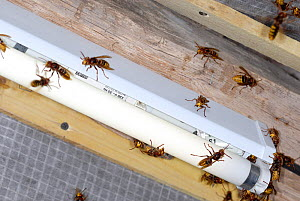 European Hornets (Vespa crabro) attracted to neon light near their nest. Tours, France, August.  -  Roland Seitre