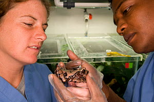 Conservation officers, Edgardo and Heidi Griffith, examine a Crowned tree frog (Anotheca spinosa) for fungal parasitic skin disease at El Valle Amphibian Conservation Center, Panama, Central America,...  -  Roland Seitre