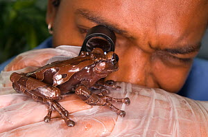 Conservation officer, Edgardo Griffith, examines a Crowned tree frog (Anotheca spinosa) for fungal parasitic skin disease at El Valle Amphibian Conservation Center, Panama, Central America, March 2008  -  Roland Seitre