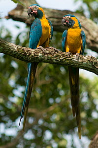 Blue throated / Wagler's macaw (Ara glaucogularis) pair perched in tree, Trinidad, Beni, Bolivia, Critically endangered species, January 2008  -  Roland Seitre