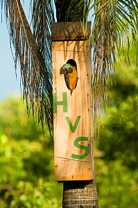 Blue throated / Wagler's macaw (Ara glaucogularis) in nestbox, Trinidad, Beni, Bolivia, Critically endangered species, January 2008. Nestbox painted with initials of the donator who funded the conserv...  -  Roland Seitre