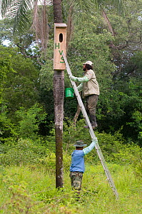 Conservation officers putting up nestbox for Blue throated / Wagler's macaw (Ara glaucogularis) Trinidad, Beni, Bolivia, Critically endangered species, January 2008. Nestbox painted with initials of t...  -  Roland Seitre