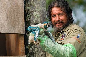 Conservation officer, Hernan Vargas Ayala, examines growing chick from nestbox of Blue throated / Wagler's macaw (Ara glaucogularis) Trinidad, Beni, Bolivia, Critically endangered species, January 200...  -  Roland Seitre