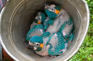 Ggrowing chicks from nestbox of Blue throated / Wagler's macaw (Ara glaucogularis) Trinidad, Beni, Bolivia, Critically endangered species, January 2008.  -  Roland Seitre