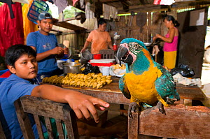 Pet Blue throated / Wagler's macaw (Ara glaucogularis) in hut amongst people preparing food, Trinidad, Beni, Bolivia, Critically endangered species, January 2008.  -  Roland Seitre