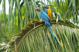 Blue throated / Wagler's macaw (Ara glaucogularis) pair perched in palm showing cutting of leaves by the macaws, Trinidad, Beni, Bolivia, Critically endangered species, January 2008  -  Roland Seitre