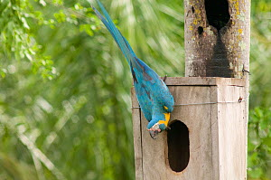 Blue throated / Wagler's macaw (Ara glaucogularis) at nestbox put up by conservation team, Trinidad, Beni, Bolivia, Critically endangered species, January 2008  -  Roland Seitre
