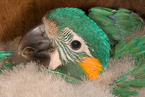 Chick of Blue throated / Wagler's macaw (Ara glaucogularis) in nestbox put up by conservation team, Trinidad, Beni, Bolivia, Critically endangered species, January 2008  -  Roland Seitre