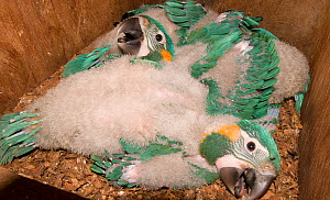 Three chicks of Blue throated / Wagler's macaw (Ara glaucogularis) in nestbox put up by conservation team, Trinidad, Beni, Bolivia, Critically endangered species, January 2008, exceptional breeding of...  -  Roland Seitre