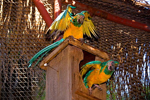 Blue throated / Wagler's macaw (Ara glaucogularis) pair at nestbox, Santa Cruz Zoo, Teneriffe, Canary Islands, Critically endangered species from Bolivia  -  Roland Seitre