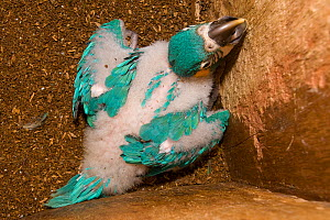 Blue throated / Wagler's macaw (Ara glaucogularis) chick in nestbox, Santa Cruz Zoo, Teneriffe, Canary Islands, Critically endangered species from Bolivia - Roland Seitre