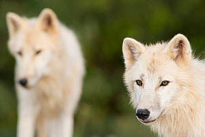 Polar Wolves (Canis lupus arctos), a high arctic variant of the Grey Wolf. Captive. Lobo Park, Antequera, Spain, January.  -  Roland Seitre
