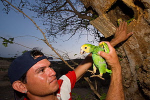 Volunteer inspecting a young Yellow-shouldered Amazon (Amazona barbadensis) being raised in nest box as part of a conservation project. Isla Margarita, Nueva Esparta, Venezuela, 2007.  -  Roland Seitre