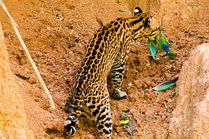 Ocelot (Leopardus / Felis pardalis) with Cobalt-winged Parakeet (Brotogeris cyanoptera) it has batted from the air. Madre de Dios, Peru, September. Sequence 3 of 4.  -  Roland Seitre