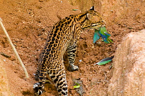 Ocelot (Leopardus / Felis pardalis) with Cobalt-winged Parakeet (Brotogeris cyanoptera) it has batted from the air. Madre de Dios, Peru, September. Sequence 4 of 4.  -  Roland Seitre